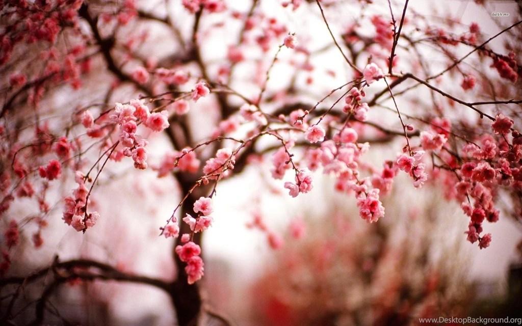 Indigo Car Wallpaper Cherry Blossom Flower Hd Free Wallpapers Hd Desktop