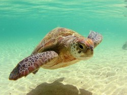 Small Of Sea Turtle Wallpaper
