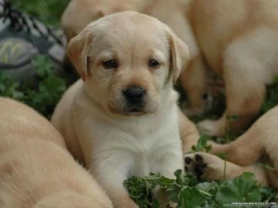 Cute Labrador Retriever Puppies Wallpapers HD Free Download Desktop Background