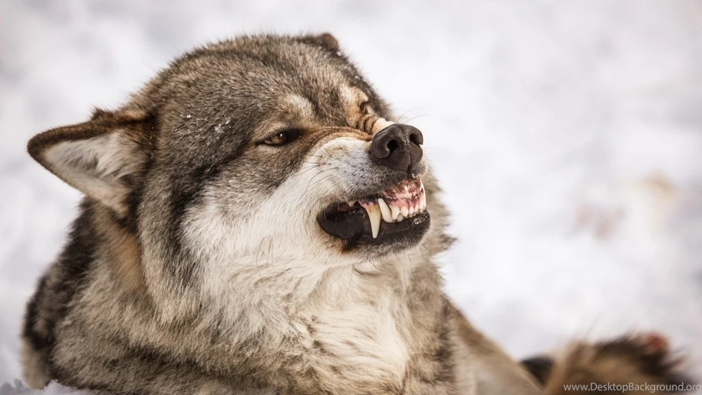 3d Touch Wallpaper For Iphone 6s Angry Wolf Wallpapers Hd For Desktop Of Grey Wolf Face
