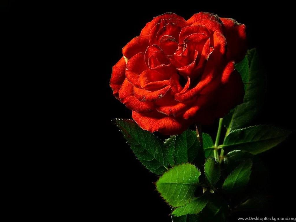 Single Rose Wallpaper Hd Single Red Rose Black Backgrounds Desktop Background