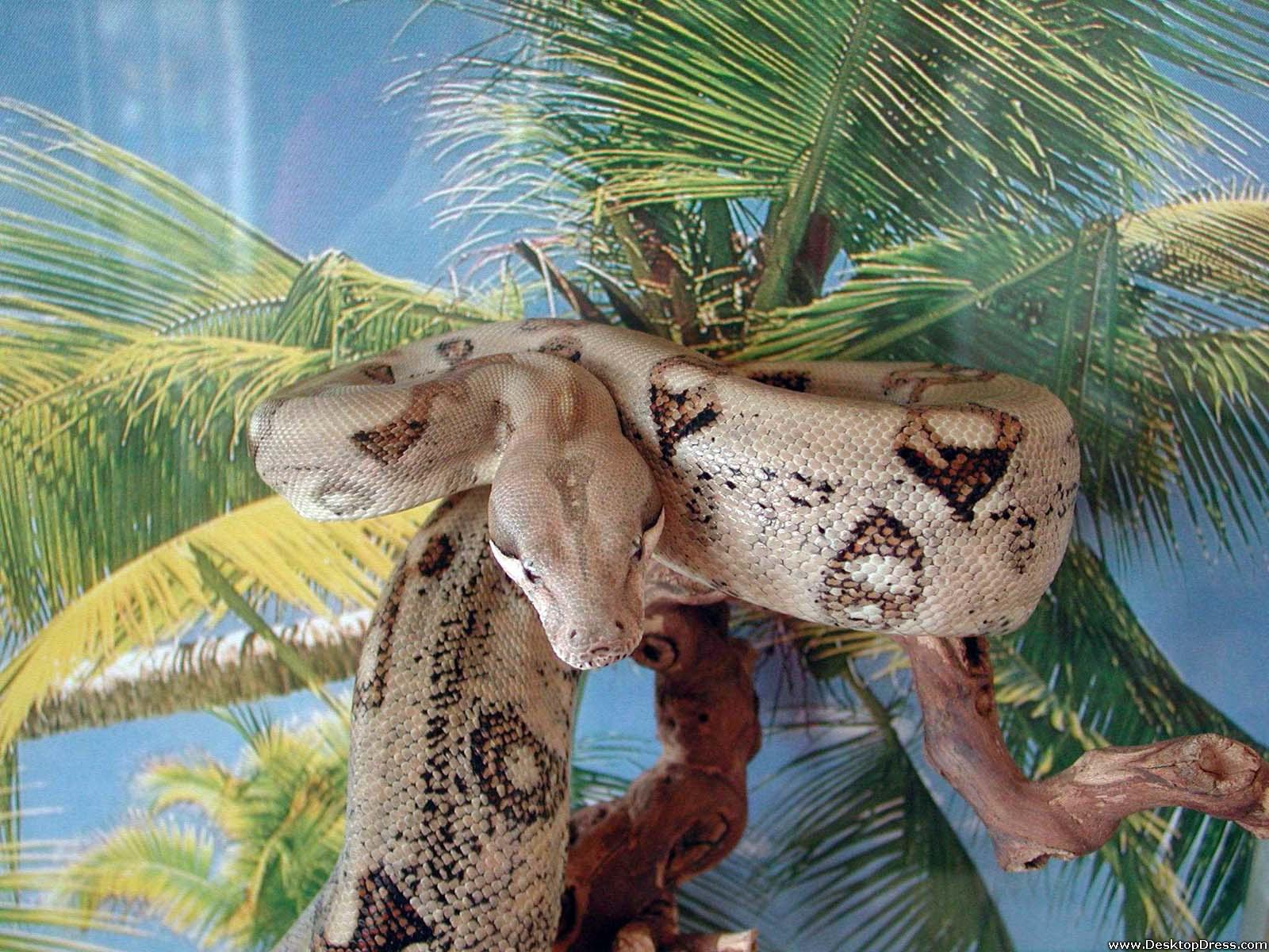 3d Wallpapers In Kenya Desktop Wallpapers 187 Animals Backgrounds 187 Big Snake 187 Www