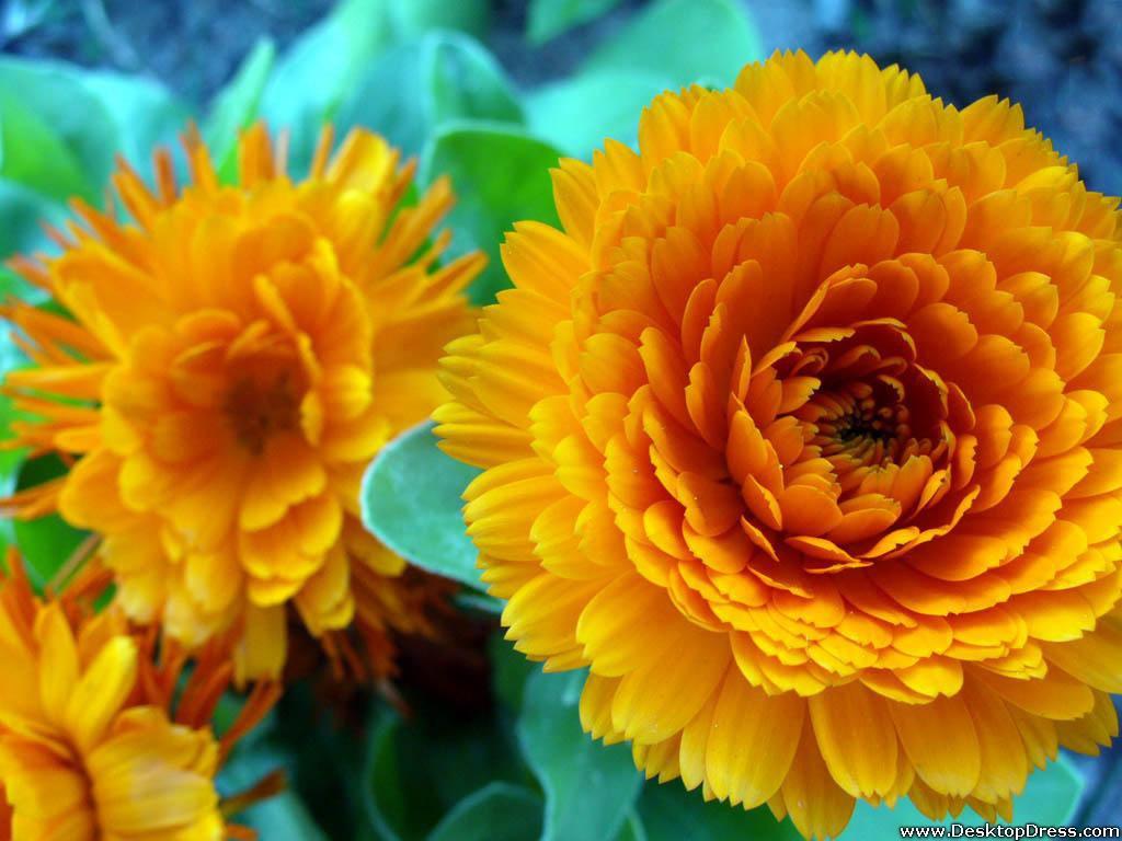 3d Hd Wallpapers Flowers Rose Desktop Wallpapers 187 Flowers Backgrounds 187 Big Yellow