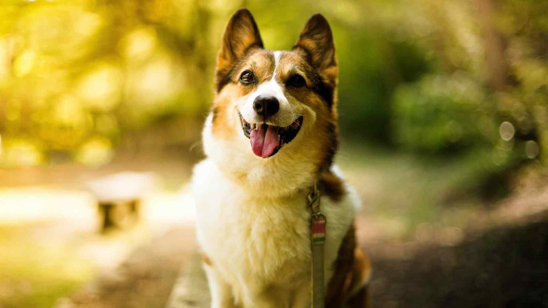 Cute Pets Wallpapers Hd 柯基犬图片主题桌面壁纸 桌面天下(desktx Com)