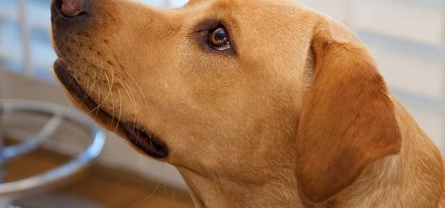 Dog Head Labrador Yellow Canine Pet Animal