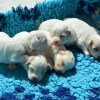puppies-2404884_960_720