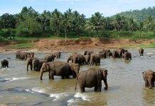 Reserva de Pinnawala - Sri Lanka - Autor: Bernard Gagnon sob licença Creative Commons