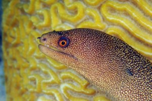 Goldentail-Moray-457x303