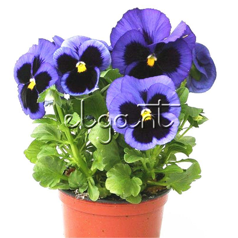 2019 100 Seeds Purple Blue Blotch Pansy Big Flower Viola