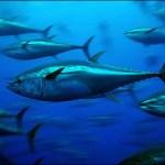 bluefin-tuna_greenpeace