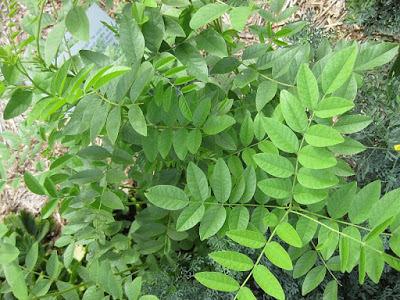 diaforetiko.gr : c482faeb96 Gardenology org IMG 2804 rbgs11jan Bότανα: Τι έτρωγε για ενέργεια ο στρατός του Μέγα Αλέξανδρου   Eίναι 50 φορές πιο γλυκό από τη ζάχαρη και φυτρώνει στην Ελλάδα.