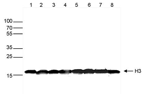 Western blot analysis using Blue ladder - HRP monoclonal antibody - western blot