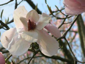 Magnolia Blossom by Diana Stevan