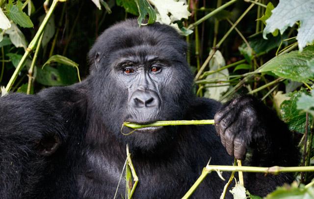 Rastreo-de-gorilas-en-Uganda