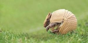 Nome Científico: Tolypeutes tricinctus