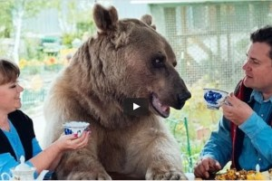 Een grote bruine beer schuift aan bij het ontbijt