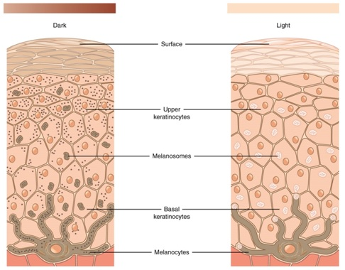 Difference Between Keratinocytes and Melanocytes Keratinocytes vs - Keratinocytes