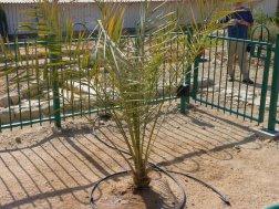 Im Kibbuz Ketura ist es gelungen aus einem auf Massada gefundenen 2000 Jahre alten Dattelkern eine junge Pflanze sprießen zu lassen.