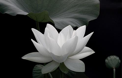 Wesak Wallpaper Hd Lotus Pictures Digital Hd Photos