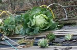 giant_cabbage