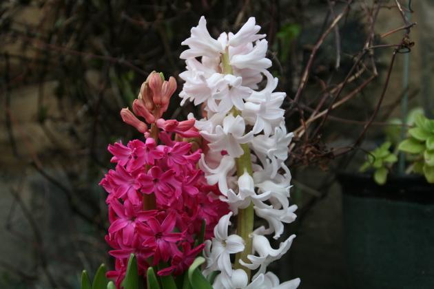 hyacinths_2