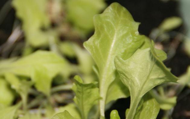 mini_lettuce