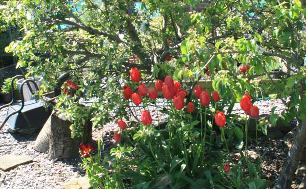 tulips_under_fruit_trees_2