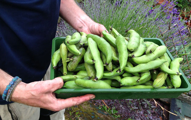 broad-bean-harvest