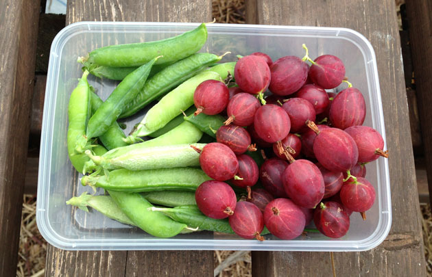 peas-and-gooseberries-harvest