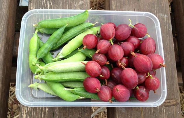 peas-and-gooseberries-harvest