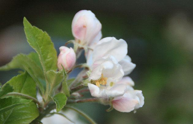 apple-tree-blossom