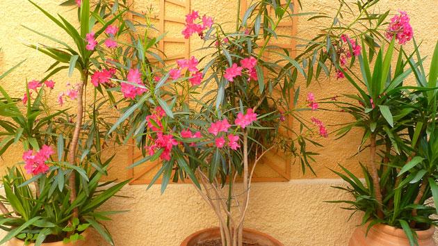 oleander-france