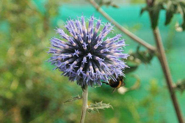 echinop-bee