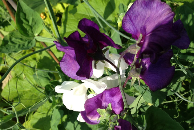 sweet-pea-close-up