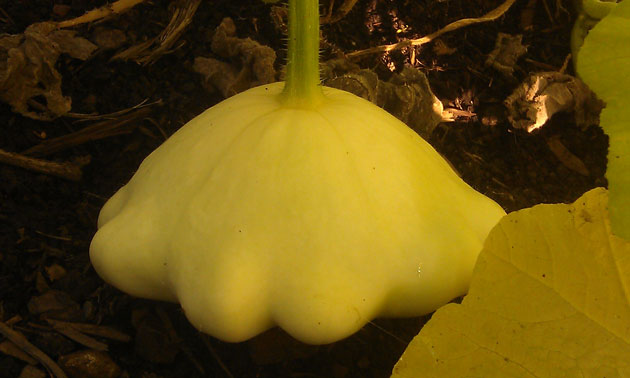 patty-pan-squash