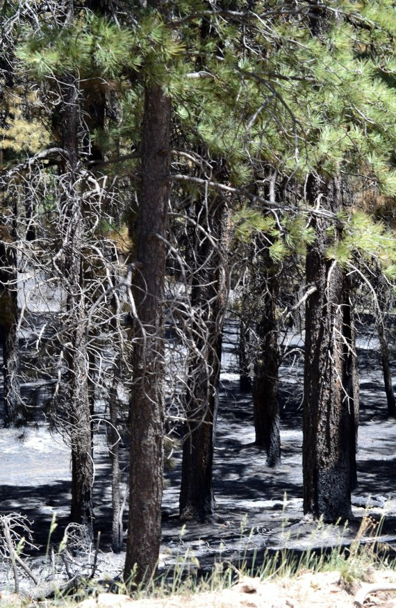A small section of a stand of trees that were partially burned by the Asaayii Lake Fire. The trees are located on the northeast flank of the fire on the Chuska Mountains, which is on the Navajo Reservation. The photo was taken on June 21, 2014,  Photo by Marley Shebala. (Please provide proper photo credit when reusing photo.)