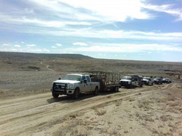 Hopi Rangers arrested two individuals and impounded 120 sheep this morning, Oct. 28, 2014, at the homesite of Tom and Etta Begay in Red Willow Springs.  Heavily armed rangers guarded and blocked nearby dirt road entrances as well. (Photo courtesy of Black Mesa Indigenous Support Group)