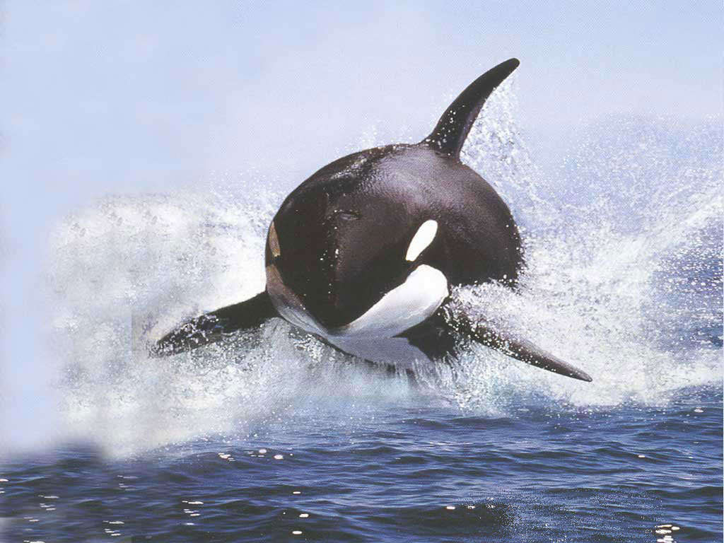 Killer Whale Hd Wallpaper Encore Un Orque