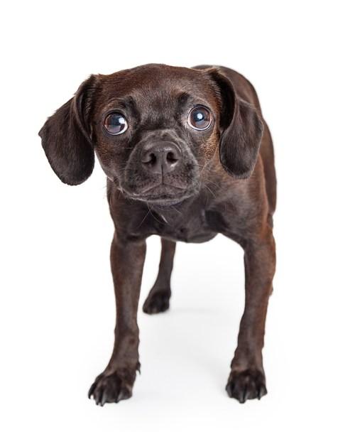 Medium Of Alaskan Noble Companion Dog