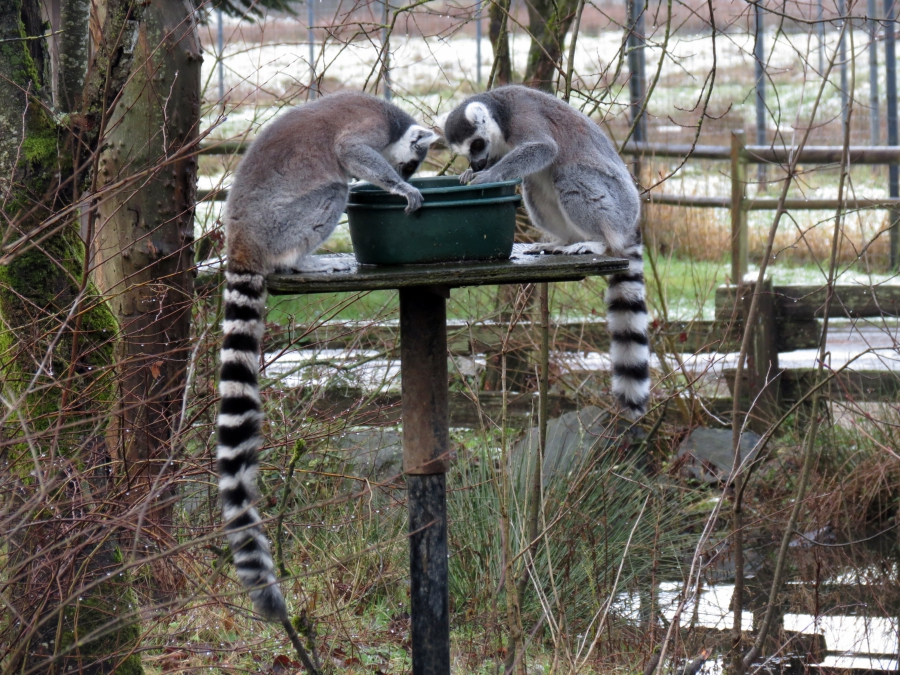 We'd never seen the lemur's at the zoo before!