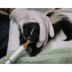 Small Crop Of Can Skunks Climb