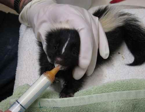 Medium Of Can Skunks Climb