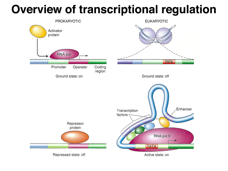 Transcription Regulation (super simplified overview - how to type up an invoice