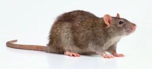 Derattizzazione Torino - Rattus norvegicus - Topo di Fogna o Pantegana