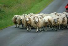 Flog the Flock