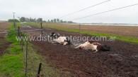 Tal como se aprecia en las imágenes, tres vaquillonas Holando Argentino en producción fueron alcanzadas por una descarga eléctricacuando cayeron los postes que se encontraban en el campo propiedad del […]