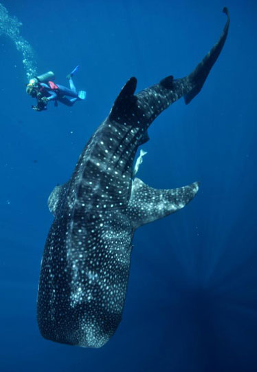 Feeling Wallpaper Hd Diving With Whale Sharks Dive The World Creature Features