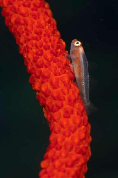 260412 Peitschenkoralle mit Fisch 4