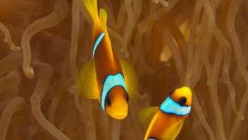 290412 Clownfisch 2