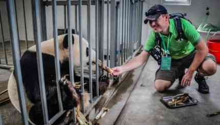 Giant Panda Volunteer Program China